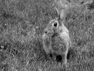 Rabbit in grass BW